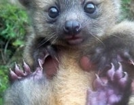 Prepare to Die… from Cute, Because Photos of Olinguito Cubs have been Released