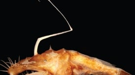 An Anglerfish Discovered, Thanks to an Oil Spill