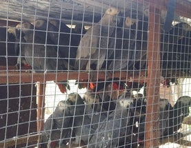 Thousands of African Grey Parrots Stolen from the Wild Every Month