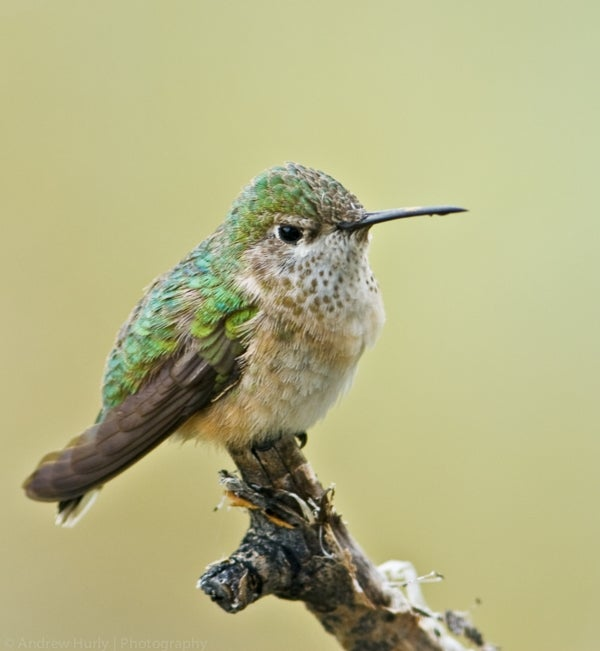 Female and Male Hummingbirds Aren't so Different When It Comes to Finding Food