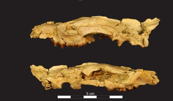Paleo Profile: Little Anubis