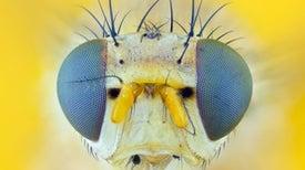Could Fruit Flies Reveal the Hidden Mechanisms of the Mind?