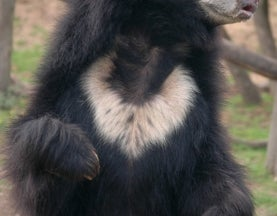 Sloth Bears Confirmed Extinct in Bangladesh