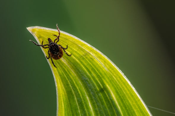 Ticks Have a Mouth Full of Hooks to Hang On