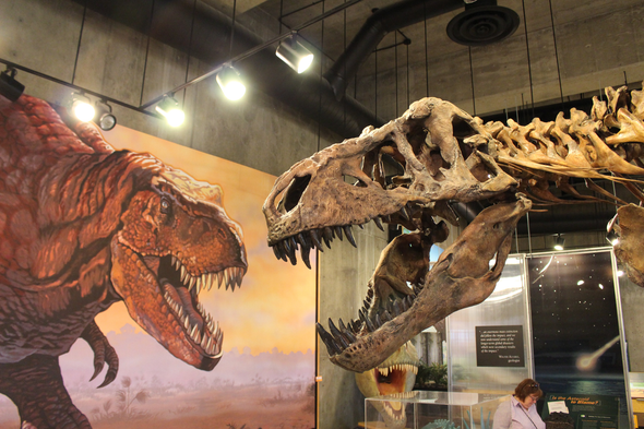 """Is """"Scotty"""" the Biggest <em>T. rex?</em> Maybe Not"""