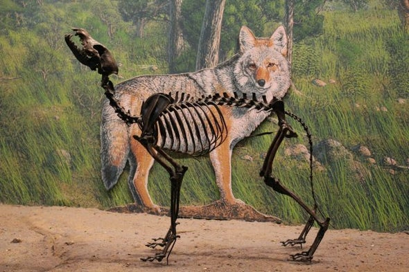 How Extinction Changed the Coyote