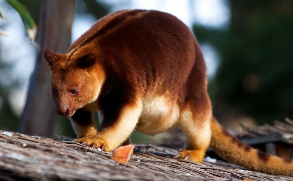 Sunday Species Snapshot: Goodfellow's Tree-Kangaroo