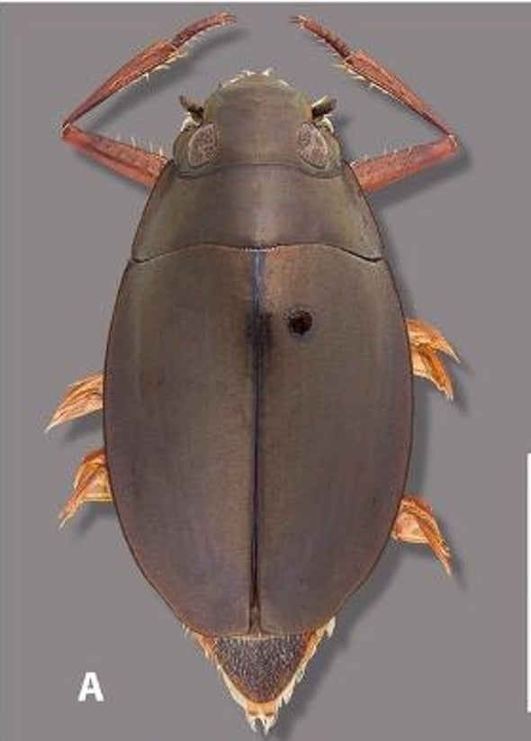 The Adorable Alabama Whirligig Beetle That Eluded Entomologists