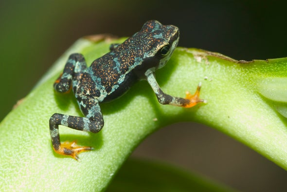 Frog Mass Extinction on the Horizon