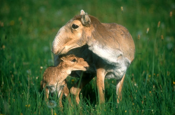 70 Percent of the World's Saiga Antelopes Mysteriously Wiped Out