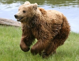 How Trophy Hunting Actually Benefits Croatian Brown Bears