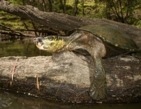 Butt-Breathing Turtle Now Critically Endangered