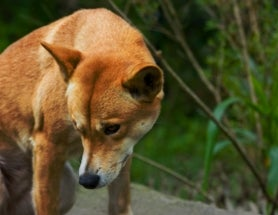Poisoning Dingoes Has Domino Effect on Australia's Biodiversity