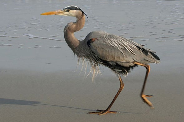 Ode to the Great Blue Heron