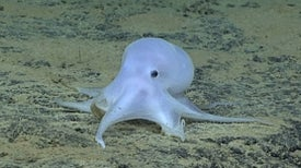 Casper, the Friendly Deep Sea Octopus Who's Entirely New to Science