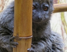 Sunday Species Snapshot: Alaotran Gentle Lemur