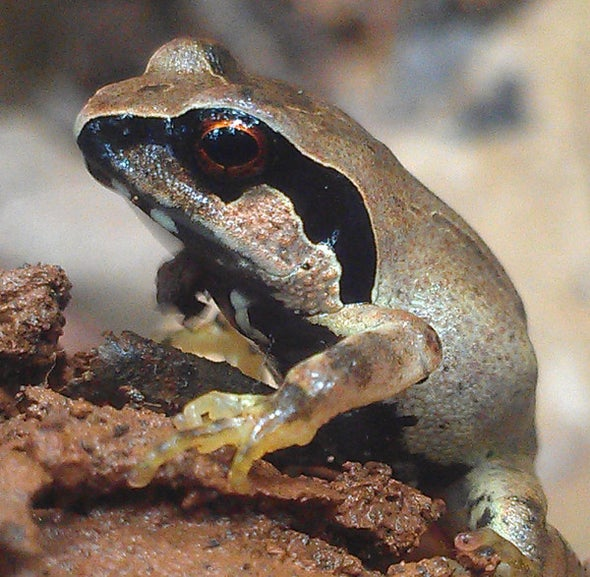 Giant Squeaker Frog Gets Ready for Cries of Joy