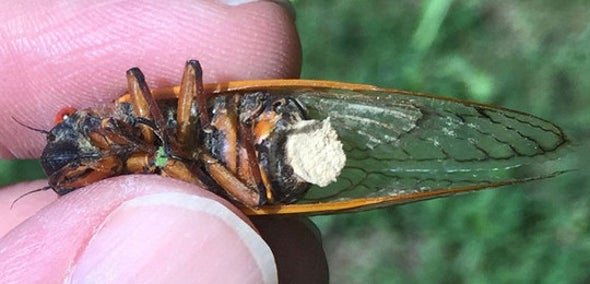 Zombie Cicadas' Bodies Are Literally Falling Apart