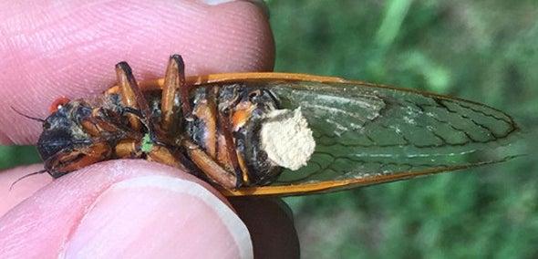 Zombie Cicadas' Bodies Are Literally Falling Apart