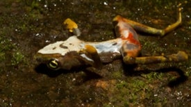 Frog-killing fungus is a skin-loving hybrid