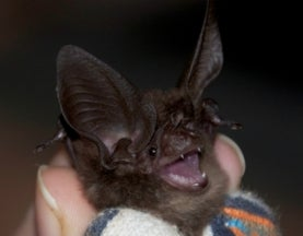 Big-Eared Bat, Once Feared Extinct, Rediscovered after 120 Years