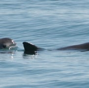 Vaquita Porpoise about to Go Extinct, Only 97 Remain