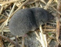 IgNobels 2013! Who ate the dead shrew for science?