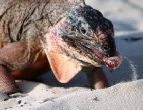 Tourists Are Giving Endangered Iguanas Diarrhea and High Cholesterol