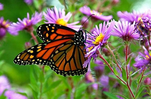 Monarchs in Peril