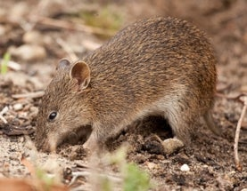 Dig This: Decline of Australian Digging Mammals Impacts Entire Ecosystems