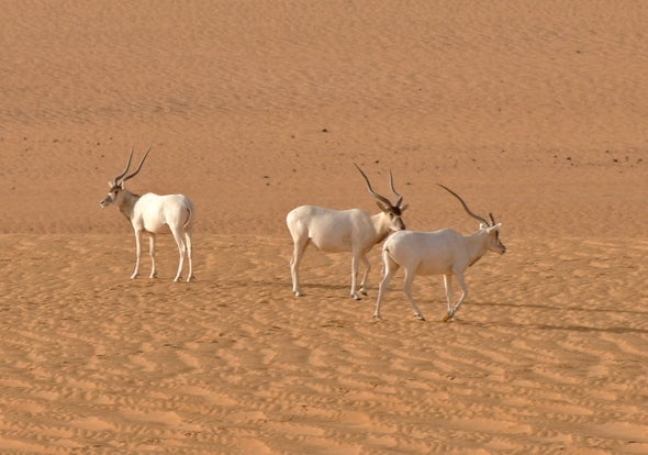 Only 3 Addax Antelopes Left in the Wild?