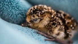 Tragic Deaths Represent a Victory in Spoon-Billed Sandpiper Conservation