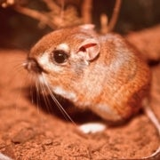 Is This Supercute Rodent Extinct or Just Hiding?