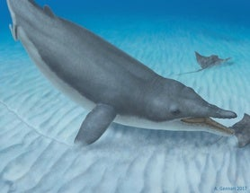 New Fossil Fills In Missing Moment in Baleen Whale History