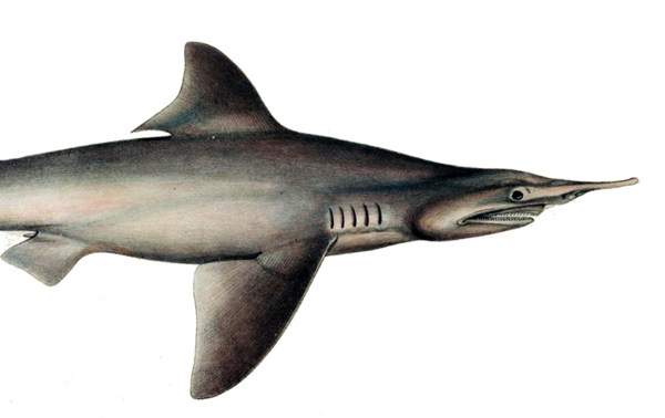The Daggernose Shark Is Near Extinction