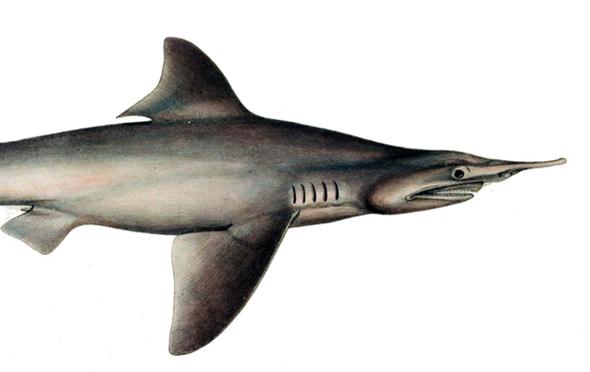The Daggernose Shark Is Near Extinction