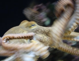 Female Octopus Strangles Mate, Then Eats Him