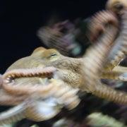 Female Octopus Strangles Mate, Then Eats Him
