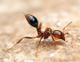 A Recipe for Photographing Angry Fire Ants