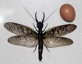 Largest aquatic insect in the world found in China
