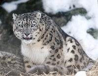Snow Leopards Could Lose Two Thirds of Their Habitat Due to Climate Change