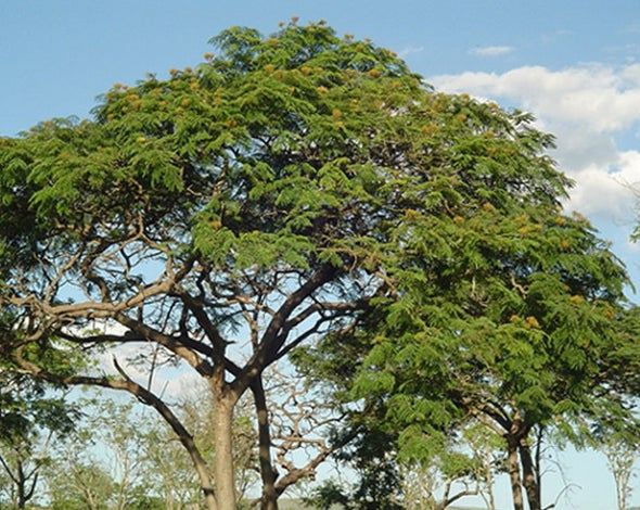 Genetic Secrets of Brazil's Rarest Tree Revealed