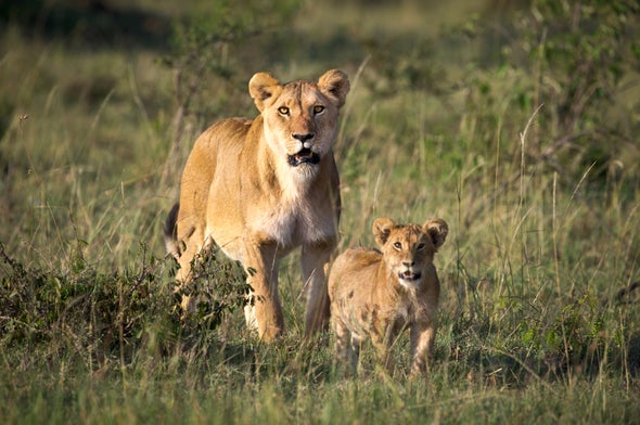 Lions in Peril: Big Cats Face 50 Percent Decline in Next 20 Years