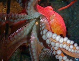 Giant Octopus Checks Out Camera and Diver [Video]