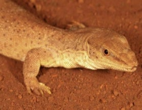 Teeny, Tiny Relative of Komodo Dragon Discovered in Australia