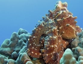 Health: Are Octopuses Rocking Too Much Heavy Metal?
