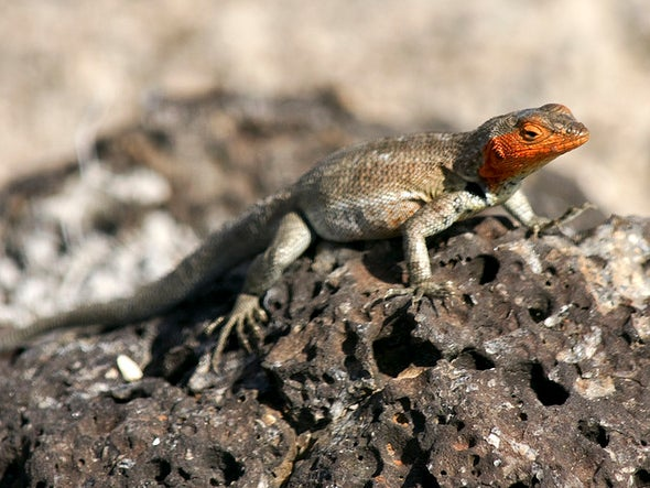 Robot Lizards Used to Address Evolutionary Questions