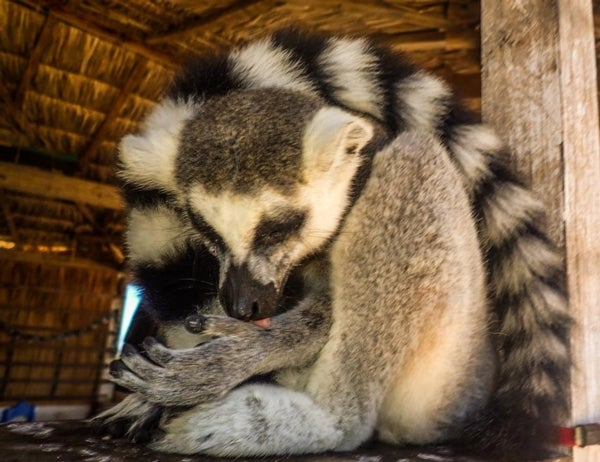 Ring-Tailed Lemurs Threatened by Illegal Pet Trade