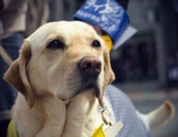 Only You Can Prevent Sniffing of Guide Dogs' Butts