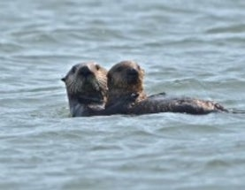 "Get Your ""Awwws"" and ""Squeees"" Here! Wild Sea Otter Cam Delights"